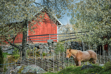 Springtime in Sweden - Ardenner horse enjoying a sunny day