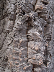 Bark of a pith oak, background