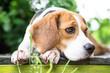 Beagle dog in garden