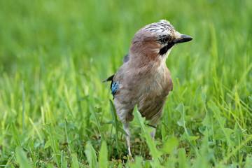 ghiandaia uccello passeriforme corvide sull'erba
