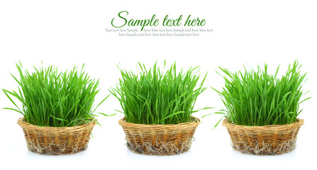 Grass in three wicker baskets with roots isolated