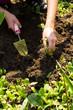 canvas print picture - weeding - spring flower bed maintenance, gardening