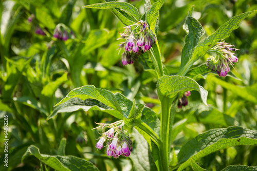 canvas print picture Symphytum officinale - Comfrey