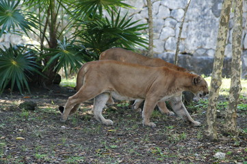 two pumas (cougar) in the natural environment