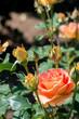 大きなオレンジのバラ