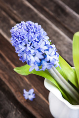Beautiful blue hyacinth