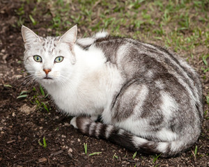 Beautiful Unusual White Grey Brown Tabby Cat Sitting in Yard
