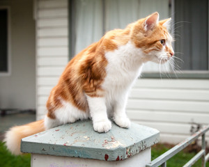 Cute Young Ginger and White Tabby Cat Perched on Pillar