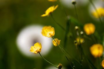 Gelbe Wiesenblume - Makro