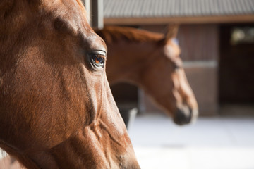 Primerísimo plano de caballo con cuadras de fondo