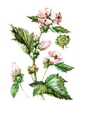 Fruits and leaves of Althaea officinalis. Botany poster