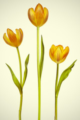 Three tulips on a vintage background