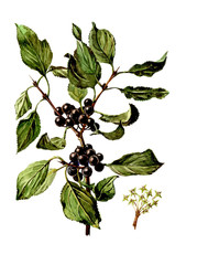 Fruits and leaves of Rhamnus. Botany