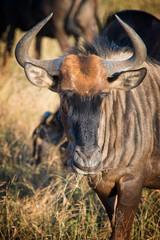 Male gnu, South Africa