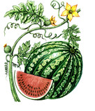 Fruits and leaves of watermelon. Botany poster