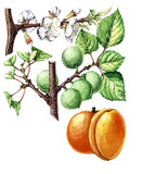 Fruits and leaves of apricot. Botany poster