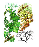 Fruit and grape grapes (Vítis). Botany poster