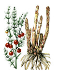 Fruits and leaves of asparagus. Botany poster