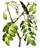 Fruits and leaves of Robinia (Robinia pseudoacacia). Botany poster