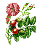 Fruits and leaves of wild rose. botany poster