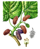 Fruits and leaves of mulberry (Morus). Botany poster