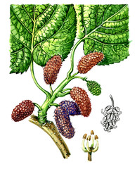 Fruits and leaves of mulberry (Morus). Botany