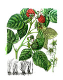 Fruits and leaves of Raspberry. Botany poster