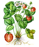 Fruits and leaves of Strawberry. Botany poster