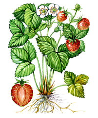 Fruits and leaves of Strawberry. Botany