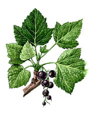 Fruits and leaves of Blackcurrant. Botany