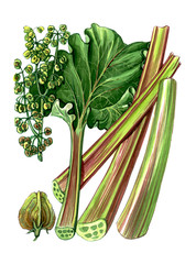 Fruits and leaves of Rhubarb. Botany