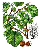 Fruits and leaves of Hazel Corylus avellana. Botany poster
