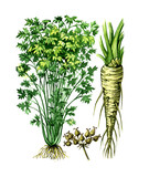 Fruits and leaves of parsley Petroselínum. Botany poster