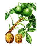 Fruits and leaves of walnut Juglans regia) Botany poster