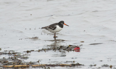 Oystercatcher bird wading on the beach