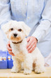 Veterinary treatment - lovely Maltese dog