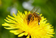 Honeybee on yellow dandelion.