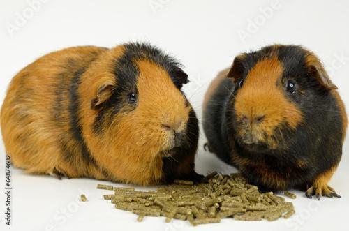 canvas print picture Meerschweinchen-team mit Trockenfutter