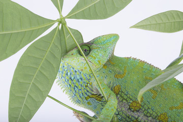 Veiled Chameleon sitting on a plant changing colour