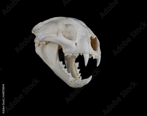 Staande foto Puma Cougar Skull