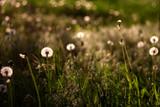 white dandelions - 64879070
