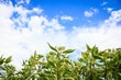 Plant and Blue Sky with Clouds Photo