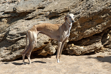 English greyhound in the sand on a background of rocks