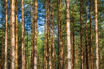 Pine forest backround