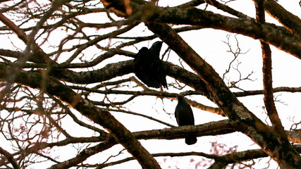 Crow flying from branch to branch