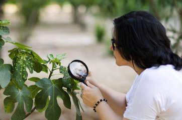 Botanist finding leaf galls on the figs tree