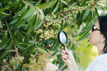 Botanist checking the growth of mango flowers