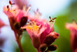 Closeup of pink flowers of the horse-chestnut tree