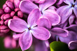 Closeup of Lilac flowers