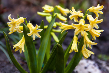Yellow flowers of Hyacinth